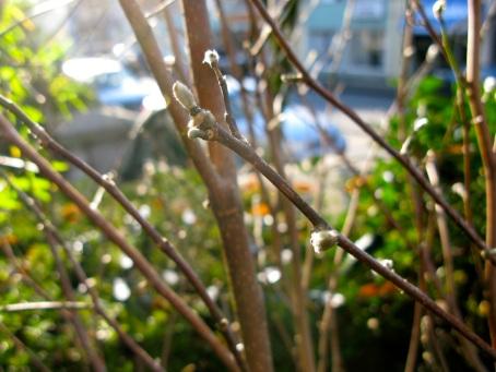 magnolia buds_november