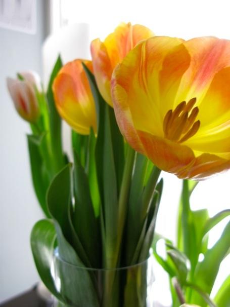 tulips feb 2013