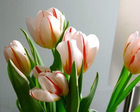 tulips3 feb 2013