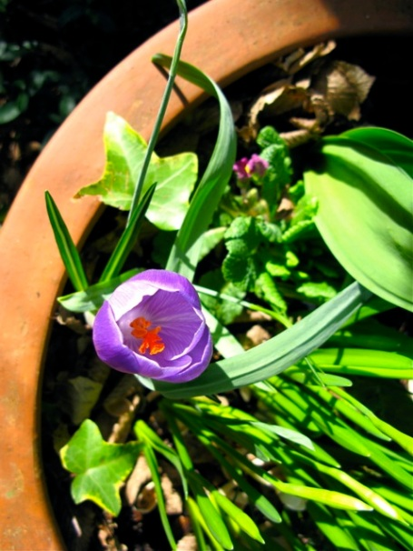 one purple crocus