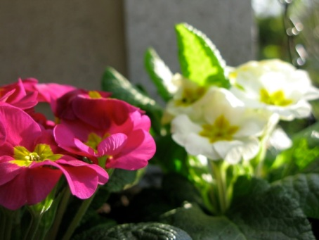pink and white primulas in the sun