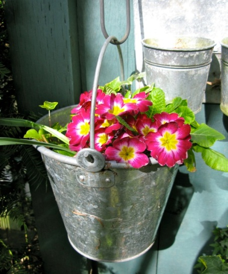 primula in metal pot