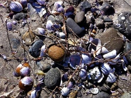 rathtrevor seashells
