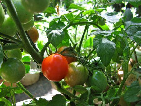 2013 tomatoes