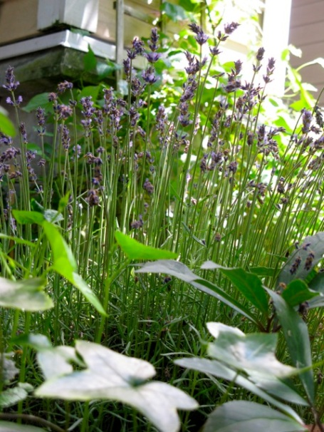 lavender 2013 3