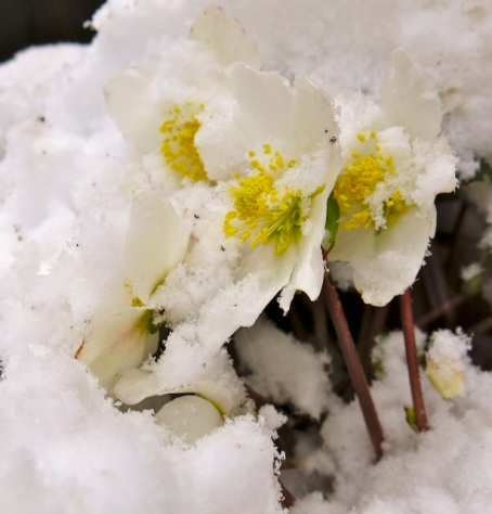 hellebores in snow2