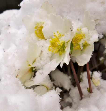 hellebores in snow2