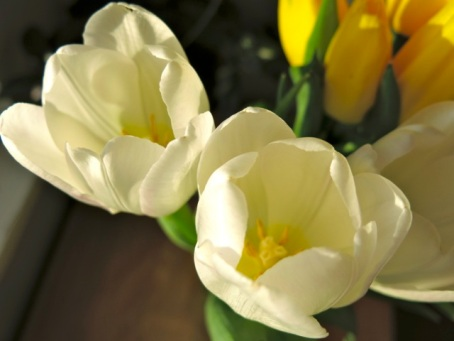 birthday tulips4