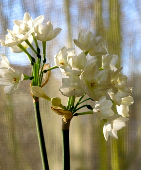 sunshine paperwhites