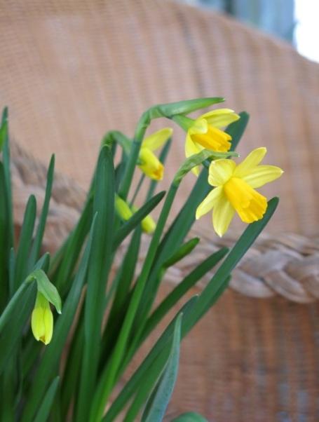 2014 daffodils