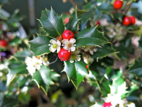 flowering holly