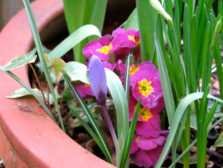 pink primula and crocus 2014