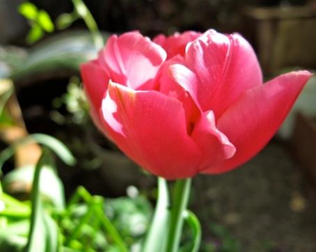 pink tulip 2