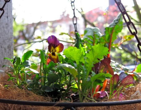 violets chard mustard greens